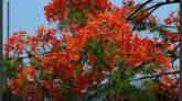 অগ্নি রাঙা কৃষ্ণচূড়ার রঙে রঙিন কুমিল্লা